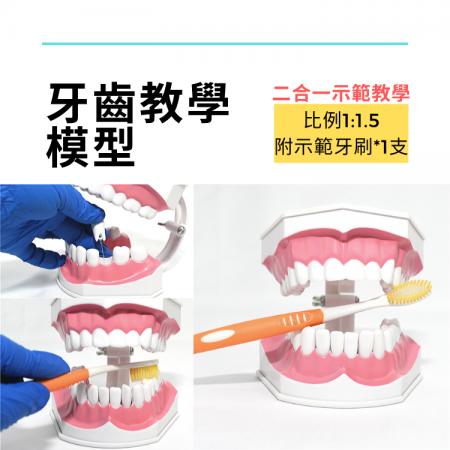 牙齒教學模型